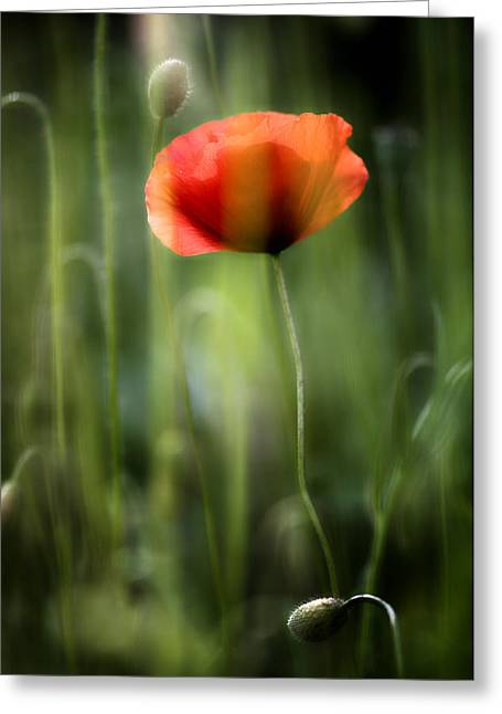Decorativ Photographs Greeting Cards - Poppy Greeting Card by Silke Magino