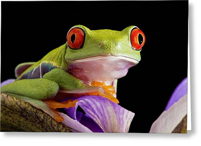 Tree Frog Greeting Cards - Red-eyed Tree Frog Greeting Card by Linda Wright