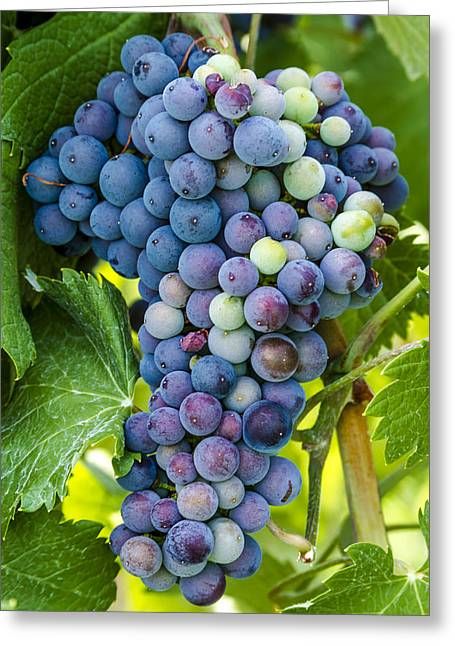 Mountain Valley Greeting Cards - Red Wine Grapes Greeting Card by Teri Virbickis