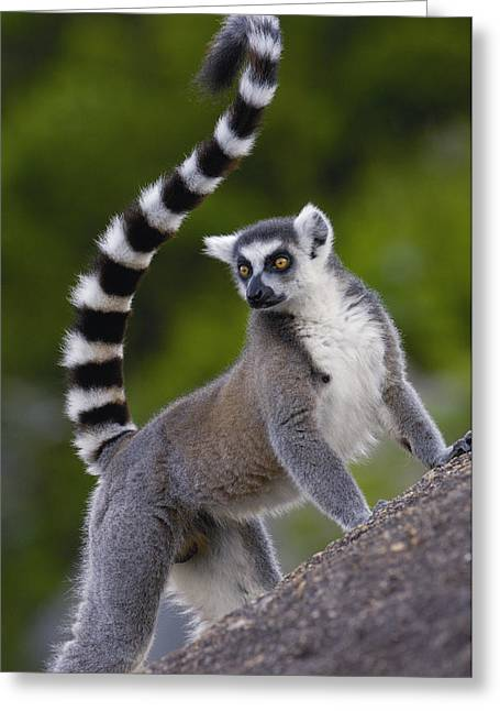 Ring-tailed Lemur Lemur Catta Portrait Greeting Card by Pete Oxford
