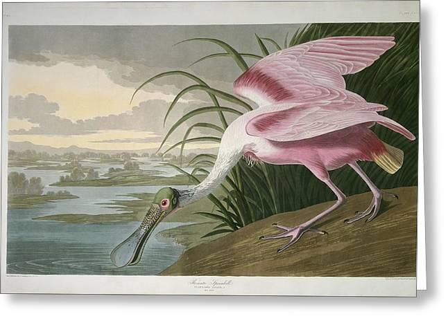 Spoonbill Greeting Cards - Roseate Spoonbill Greeting Card by John James Audubon