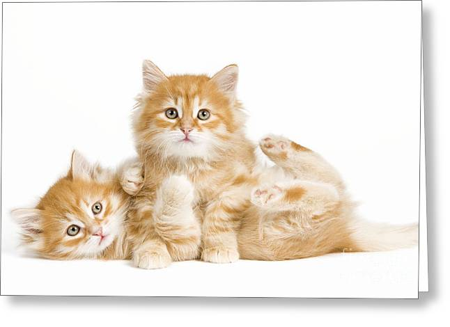 Cat On Back Greeting Cards - Siberian Kittens Greeting Card by Jean-Michel Labat