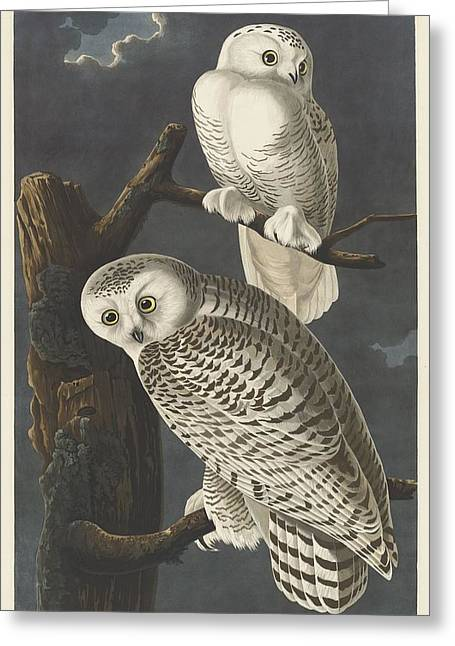 Snowy Owl Greeting Card by John James Audubon