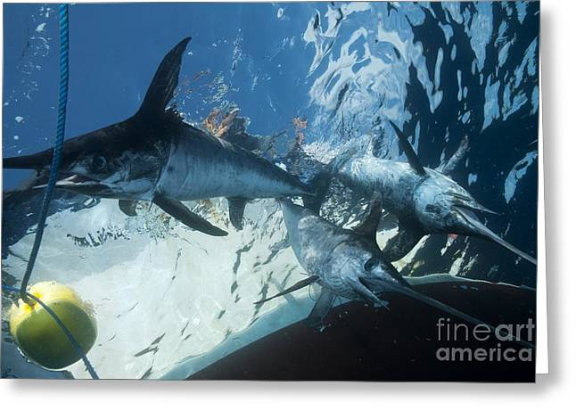 Swordfish Photographs Greeting Cards - Swordfish In A Fishing Net Greeting Card by Angel Fitor