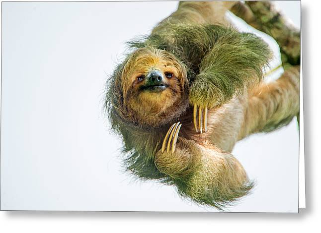 Animal Themes Greeting Cards - Three-toed Sloth Bradypus Tridactylus Greeting Card by Panoramic Images
