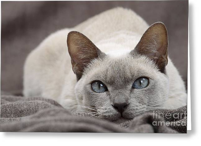 Tonkinese Cat Greeting Cards - Tonkinese Cat Greeting Card by Jean-Michel Labat
