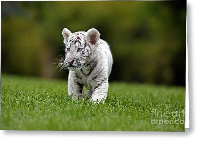 White Tiger Panthera Tigris Greeting Card by Gerard Lacz