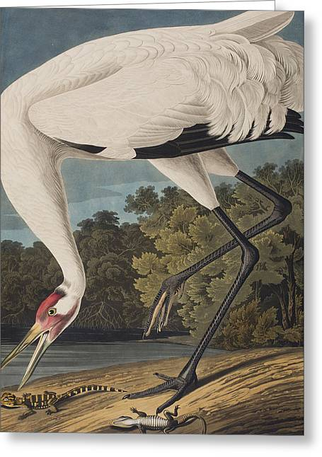 Herons Drawings Greeting Cards - Whooping Crane Greeting Card by John James Audubon