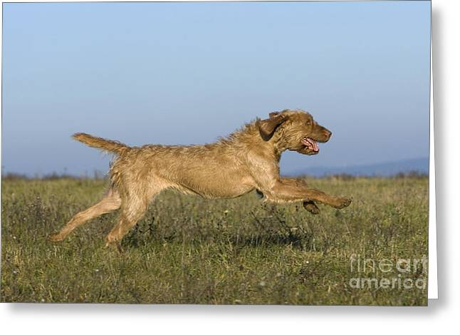 Magyar Vizsla Greeting Cards - Wirehaired Vizsla Running Greeting Card by Jean-Louis Klein & Marie-Luce Hubert