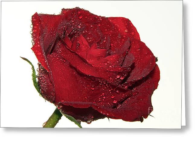 Red Rose Greeting Card by Elvira Ladocki
