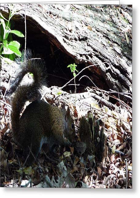 Gathering Greeting Cards - 4802015 Squirrel In Marsh  Louisiana Greeting Card by Garland Oldham