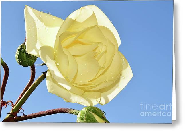 Yellow Rose Greeting Card by Elvira Ladocki