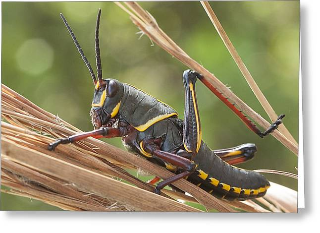 Romalea Microptera Greeting Cards - 4th instar Eastern Lubber Grasshopper Greeting Card by Edelberto Cabrera