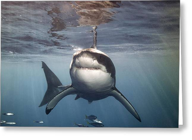 White Shark Photographs Greeting Cards - A Great White Shark Swims In Clear Greeting Card by Mauricio Handler