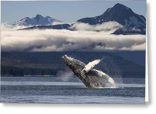 Emergence Greeting Cards - A Humpback Whale Breaches As It Leaps Greeting Card by John Hyde