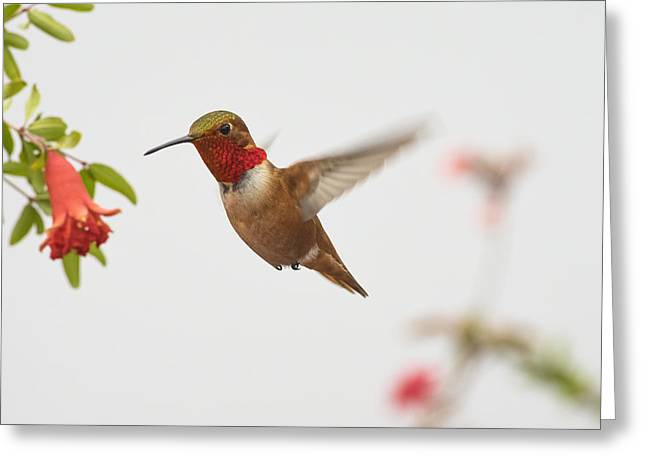 Hummingbird Greeting Cards - Allens Hummingbird Greeting Card by Mike Herdering