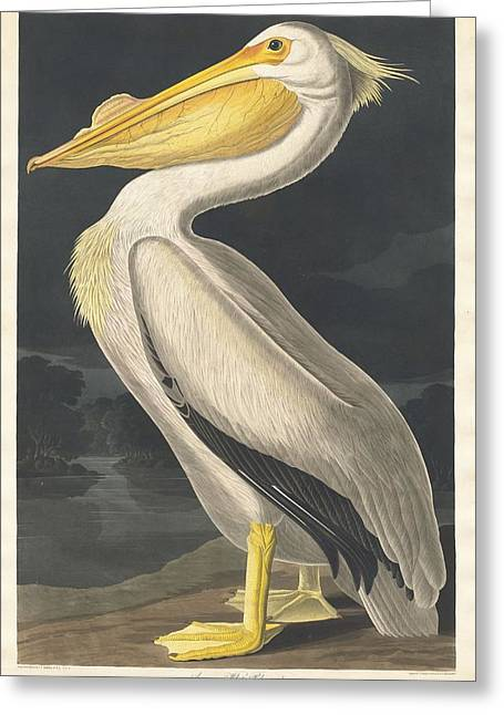 Pelican Greeting Cards - American White Pelican Greeting Card by John James Audubon