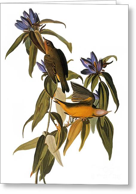 Audubon: Warbler, (1827-38) Greeting Card by Granger
