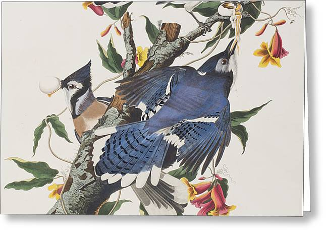 Jayhawk Greeting Cards - Blue Jay Greeting Card by John James Audubon