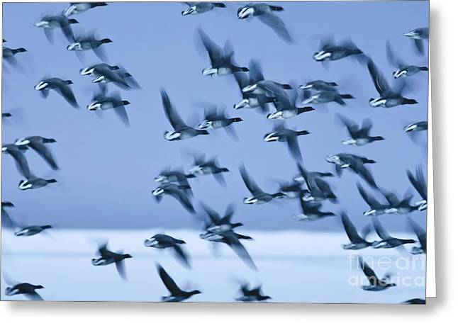 Snowy Evening Greeting Cards - Brent Goose Flock In Flight Greeting Card by Duncan Shaw