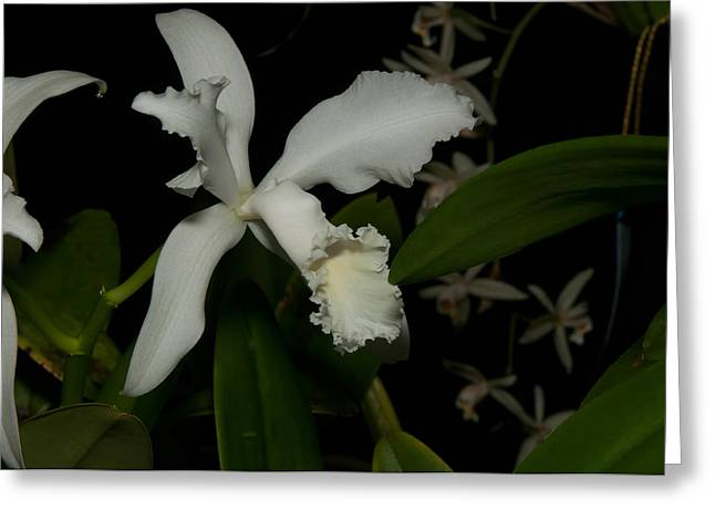 Cattleya Digital Art Greeting Cards - Cattleya Style Orchids Greeting Card by Carol Ailles