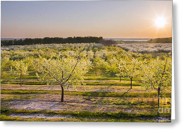 Cherry Blossom Festival Greeting Cards - Cherry Blossoms in Traverse City Greeting Card by Twenty Two North Photography