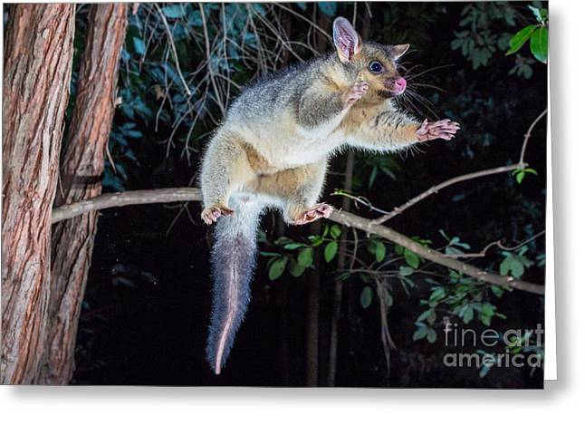 Brushtail Greeting Cards - Common Brush-tailed Possum Greeting Card by B.G. Thomson