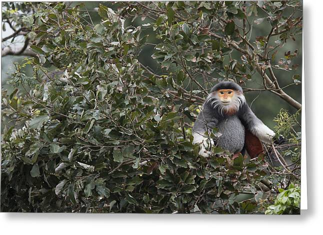 Douc Langur In Treetop Greeting Card by Cyril Ruoso