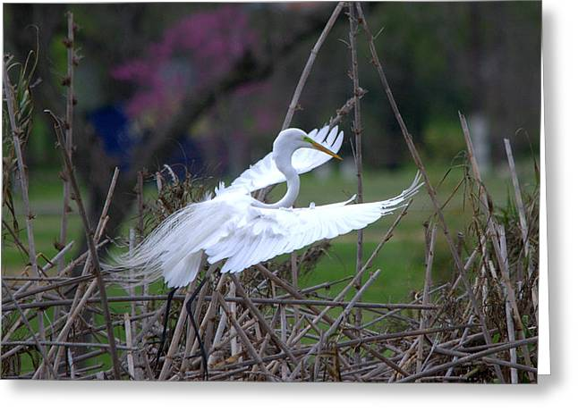 Hunting Bird Greeting Cards - Great Egret Returning To The Nest Greeting Card by Roy Williams