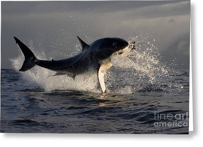 Great White Shark Greeting Card by Jean-Louis Klein & Marie-Luce Hubert