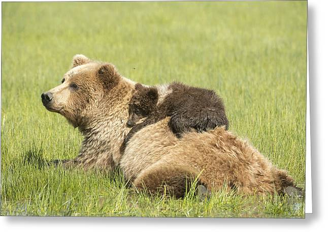 Caring Mother Greeting Cards - Grizzly Bear  Ursus Arctos Horribilis Greeting Card by Daisy Gilardini