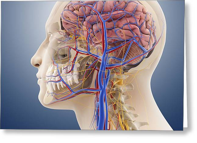 Facial Artery Greeting Cards - Head And Neck Anatomy, Artwork Greeting Card by Springer Medizin