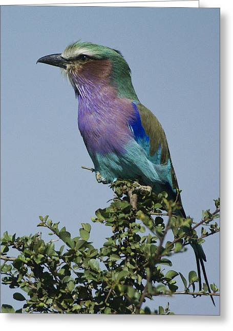Lilac Roller Greeting Cards - Lilac-Breasted Roller Greeting Card by Michele Burgess