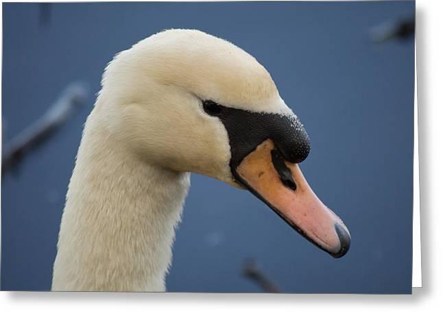 Animal Greeting Cards - Mute Swan Cygnus olor Greeting Card by Robert Carr