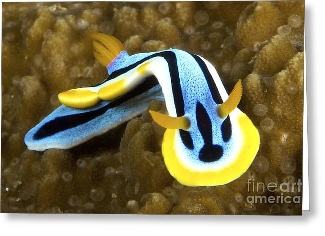 Undersea Photography Photographs Greeting Cards - Nudibranch Feeding On Algae, Papua New Greeting Card by Terry Moore