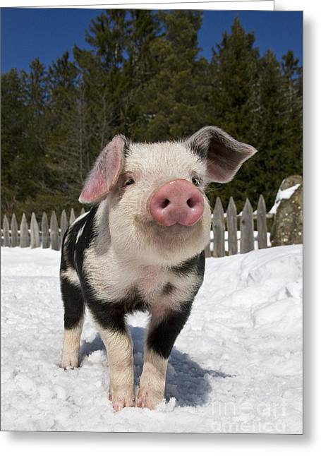 Piglets Greeting Cards - Piglet In The Snow Greeting Card by Jean-Louis Klein & Marie-Luce Hubert