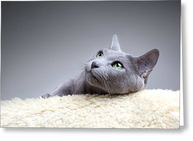 Whiskers Greeting Cards - Russian Blue Cat Greeting Card by Nailia Schwarz