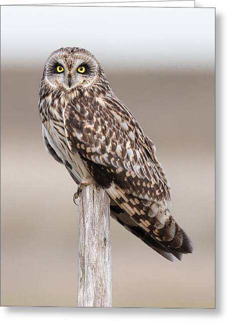 Shorts Greeting Cards - Short Eared Owl Greeting Card by Ian Hufton