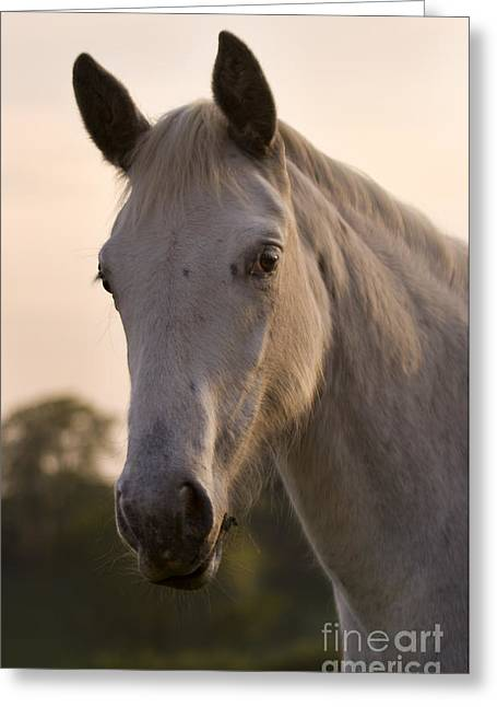 The Horse Portrait Greeting Card by Angel  Tarantella