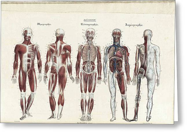 Full Body Greeting Cards - Anatomie Methodique Illustrations Greeting Card by Science Source