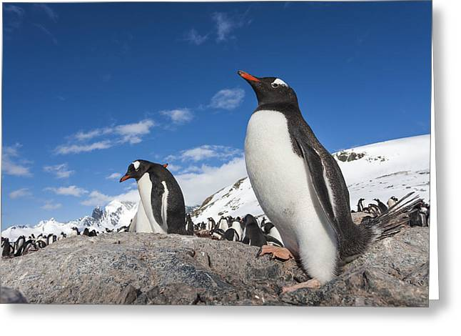 Full-length Portrait Greeting Cards - Antarctica, Cuverville Island, Gentoo Greeting Card by Paul Souders