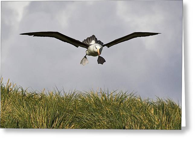 Black-browed Albatross Greeting Card by Jean-Louis Klein & Marie-Luce Hubert