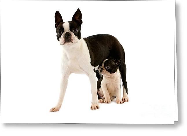 Boston Terrier Dog Greeting Card by Gerard Lacz