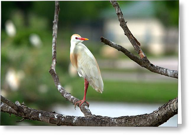 Hunting Bird Greeting Cards - Cattle Egret Portrait Series Greeting Card by Roy Williams