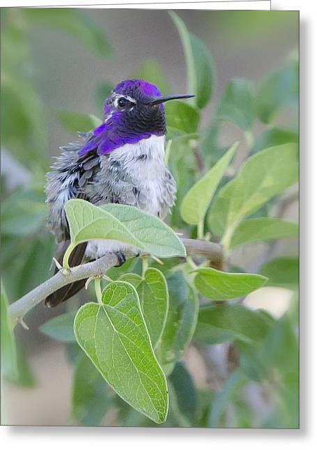 Costa Photographs Greeting Cards - Costas Hummingbird  Greeting Card by Saija  Lehtonen