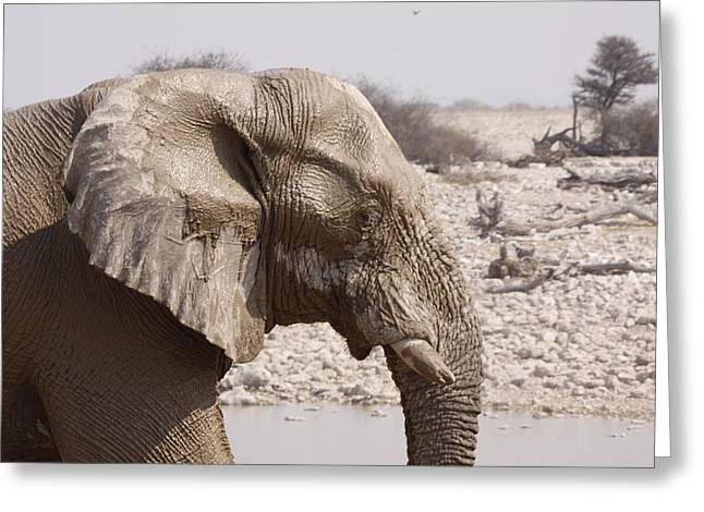 Zoology Greeting Cards - Elephant Greeting Card by FL collection