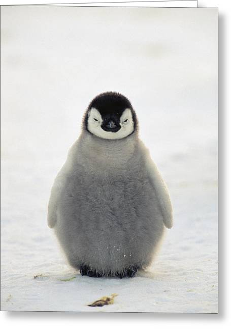Aptenodytes Greeting Cards - Emperor Penguin Aptenodytes Forsteri Greeting Card by Konrad Wothe