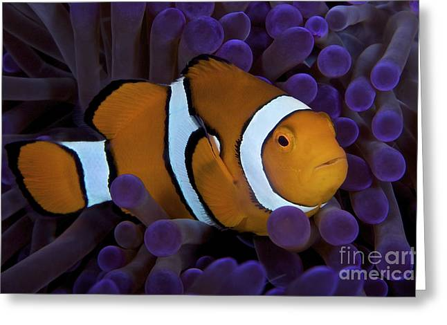 Undersea Photography Photographs Greeting Cards - False Ocellaris Clownfish In Its Host Greeting Card by Terry Moore