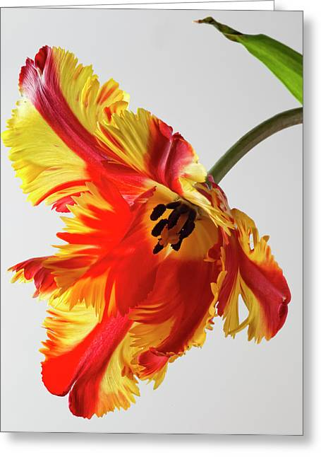 Till Life Greeting Cards - French Tulip Greeting Card by Robert Ullmann