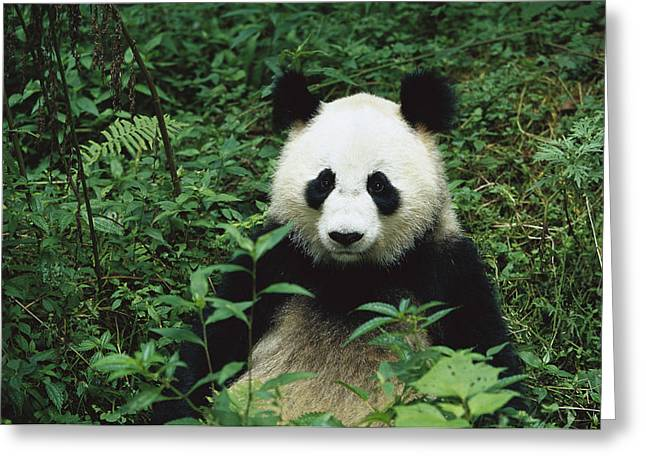 Wolong Nature Reserve Greeting Cards - Giant Panda Ailuropoda Melanoleuca Greeting Card by Cyril Ruoso